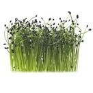 Sweet Pea Urban Gardens Micro Garlic (.75 oz.)